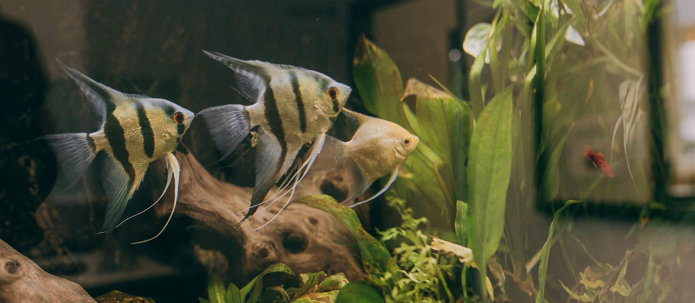 Fische im Aquarium der Zahnarztpraxis Dr. Frank in Haldensleben.